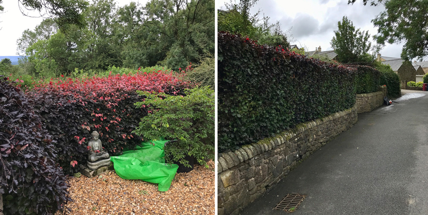 Hedgetrimming copper beech